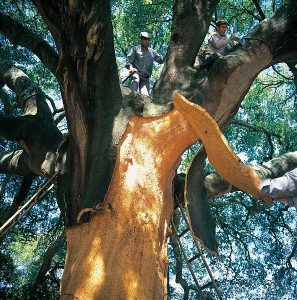 amorim harvesters collecting cork from a cork oak tree